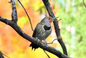 northern flicker woodpecker in Calgary